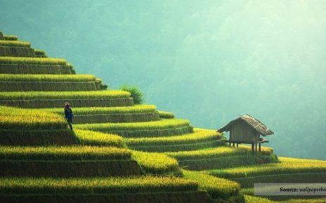 6 Negara Asia Sebagai Produsen Beras Terbesar di Dunia